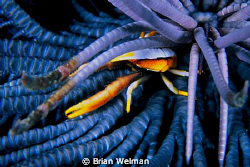 Squat Lobster in Feather Star by Brian Welman 